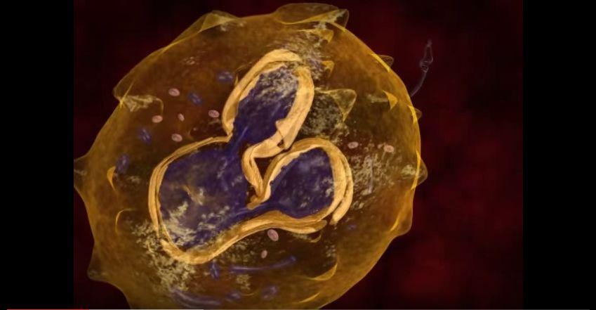 دورة حياة الليشمانيا في الانسان Leishmania