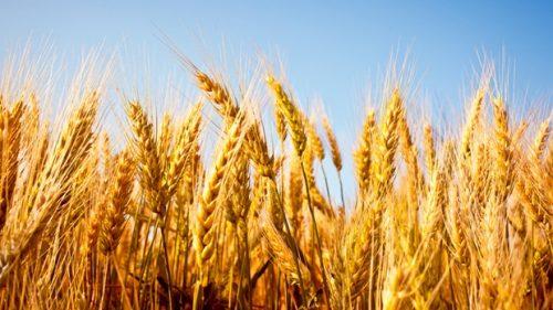 دراسة أمريكية: تناول القمح يوميا يقلل خطر الإصابة بسرطان القولون والمستقيم